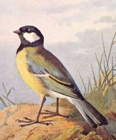 Great Tit Picture Antique Bird Print by PeonyandThistlePaper, £6.50
