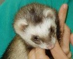 #Hurones - #Veterinario #Cornella #Exóticos www.veterinarioexoticos.com