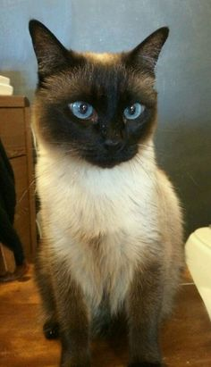Most up-to-date Free siamese cats long haired Strategies Siamese pet cats would be better renowned for their luxurious, sleek systems, rich and creamy coats as well a Siamese Kittens, Cute Cats And Kittens, Animals And Pets, Baby Animals, Cute Animals, Pretty Cats, Beautiful Cats, Animal Gato, Cute Cats Photos
