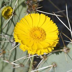 Scientific Name: Baileya multiradiata  Common Name: Desert Marigold
