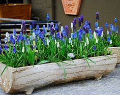 Mixed grape hyacinth in log planter