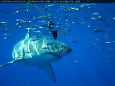Great White Sharks, Carcharodon carcharias, aka white sharks, white pointers, blue pointers, man-eaters, manila sharks, are the largest known predatory fish in the sea. They reach lengths of over 6.1  m and can weigh up to 2,268  kg. They have a conical snout, pitch black eyes, a heavy, torpedo-shaped body, and a crescent-shaped, nearly equal-lobed tail fin that is supported on each side by a keel.