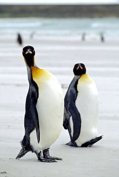 king penguin picture - hehehe ;-)  Copyright © 2008 Penguin-Pictures