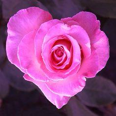 Au Coeur De La Fleur ~ a beautiful heart shaped rose. Heart In Nature, Heart Art, My Flower, Pretty Flowers, Heart Flower, Rosa Rose, I Love Heart, Heart Pics, Happy Heart