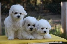10 wk. old Bichon puppies  Aphrodites Reflections