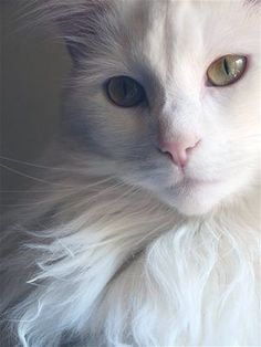 white cat by christy White Kittens, Cute Cats And Kittens, Baby Cats, I Love Cats, Cool Cats, Kittens Cutest, Ragdoll Kittens, Funny Kittens, Bengal Cats