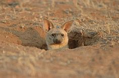 This Newly Discovered Animal May Be The Cutest Animal In The World - Aardwolf