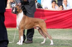 NEXT STEP'S LOCOMOTION, Boxer Dog Show, Dog Pictures, Boxer, Dogs, Animals, Image, Animales, Pictures Of Dogs, Animaux