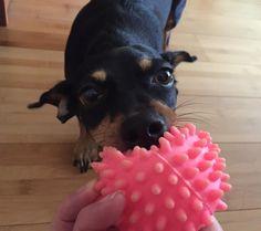 Come on mom!! #dog #dogs #dogtoy #dogleash #doglover #dogcollar #dogtreats #dogsofinstagram #poidog #mixbreed #hawaii #aloha #dogsofhawaii #hawaiilife #happy #dachshund #chihuahua #jackrussell #fetch by poidogtreats