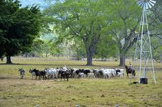 Cowboys drive the herd to the corral. Seen in Guanacaste, Costa Rica     brand new life