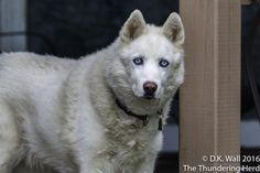Everypup pulls their weight in working at Chez Herd, some more reluctantly than others. #dog #siberianhusky #husky