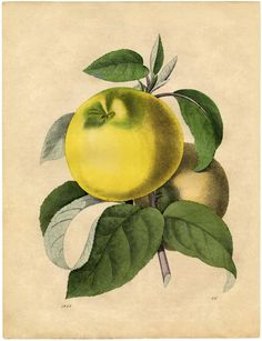 Free Botanical Art Prints - Apples. Grab the full size Printable at The Graphics Fairy!