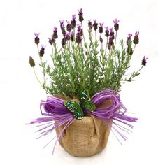 This would be a perfect gift. French Aromatic Lavender - Stunning french lavender with deep purple flowers and aromatic foliage presented in hessian wrap and bow. A beautiful plant gift to send for all occasions. French Lavender Plant, Lavender Garden, Lavender Scent, Lavander, Levander Wedding, Granny Gifts, Orchid Varieties, Christmas Plants, Purple Flowers