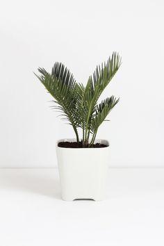 Mini palm plant | MyDubio