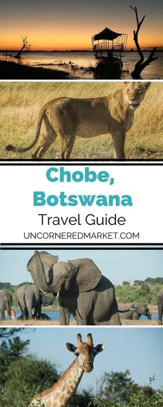 A guide to experiencing the best of Chobe National Park in Botswana. 20 top experiences + practical tips for your safari trip in Botswana. | Uncornered Market