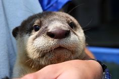 sweet otter face