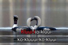 Lintukaraoke: kuikka (video 1:05).