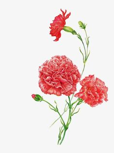 January Birth Flowers, Floral Watercolor, Watercolor Paintings, Carnations, Ikebana, Art Education, Bonsai, Fantasy, Tattoos