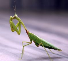How to Collect Praying Mantis