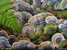 Turkey Tail Mushroom - Known in Chinese medicine for its healing properties, the turkey tail mushroom—pictured in this image by Lance Isackson—is believed to strengthen the immune system against disease and infection. National Geographic