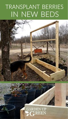 How to Transplant Berries in Brand New Raised Beds