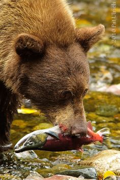 At Lake Tahoe to see the Kokannee salmon run, a bear adds to our awe. Photographer: Pat Ulrich