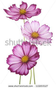 fuchsia colored cosmos flowers