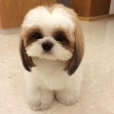 Shih Tzu cutie