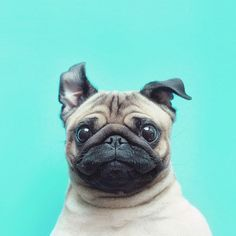 Loulou the little pug by MeetThePugs