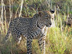 A leopard in Tsavo West National Park, Kenya