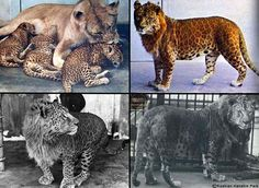 types of big cat hybrids~Leopons..crossing a male leopard with a lioness.