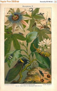 SALE 1920s  Insects Print Bugs Color Lithograph Hemiptera on a Passion Flower Vine