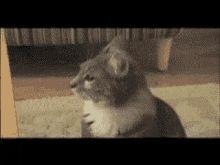 Shocked cat   Riffsy GIF Keyboard