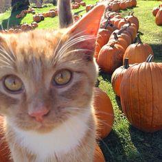 Tip-toeing over the pumpkins. Pumpkins, Outdoors, Peace, Cats, Nature, Animals, Gatos, Naturaleza, Animales