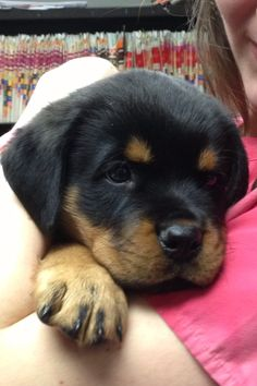 """Explore our site for more info on """"Rottweiler puppies"""". It is actually a superb spot to find out more. Rottweiler Love, Rottweiler Puppies, German Rottweiler, Cute Puppies, Cute Dogs, Dogs And Puppies, Doggies, West Highland Terrier, Australian Shepherds"""