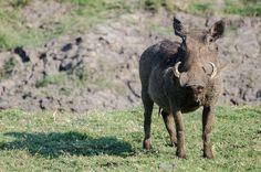 Hungry Warthog