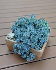 10 Best Indoor Plants // Archareer Rose succulents yes por favor Succulent Gardening, Succulent Terrarium, Cacti And Succulents, Planting Succulents, Planting Flowers, Flowering Succulents, Cacti Garden, Best Indoor Plants, Cool Plants