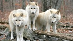 Keep Wolves on the Endangered Species List