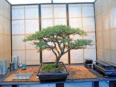 Image result for pierneef bonsai Acacia, Flat, Image, Top, Bass, Dancing Girls, Crop Shirt, Flat Shoes, Shirts