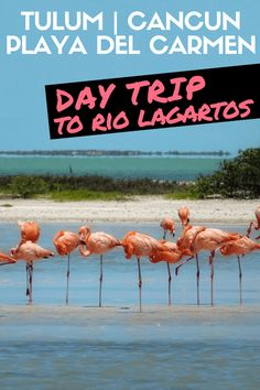 Rio Lagartos: a Day Trip from Tulum/Playa del Carmen/Cancun to See Flamingoes and a Pink Lake [Mexico] Mexico Destinations, Travel Destinations, Travel Tips, Usa Travel, Travel Guides, Mexico Vacation, Mexico Travel, Italy Vacation, South America Travel