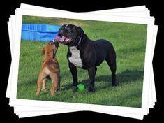 Continental Bulldog, Labrador Retriever, Dogs, Animals, Labrador Retrievers, Animales, Animaux, Pet Dogs, Doggies