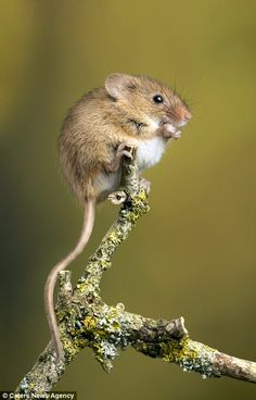Mar 2020 - Miles Herbert, who spotted loved-up rodents sharing a romantic moment while kissing on a single twig in Hampshire. The pair rubbed their noses together when they met up in the branches. Nature Animals, Animals And Pets, Funny Animals, Wild Animals, Animals Photos, Wildlife Photography, Animal Photography, Beautiful Creatures, Animals Beautiful