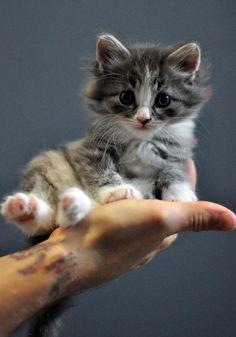 Kitten  @Mashael Al-Hegelan...awwwww