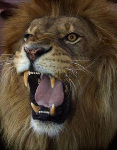 The Roar of a Lion from Close Up