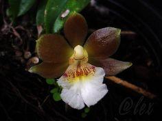 Trichocentrum fuscum - Flickr - Photo Sharing!