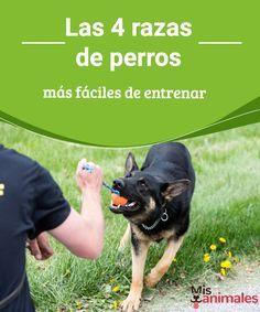 Las 4 razas de perros más fáciles de entrenar Una de las cosas más interesantes que podemos realizar con nuestros perros es entrenarlo. Descubre las razas más fáciles de entrenar. #adiestramiento #entrenamiento #razas
