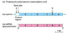 Difference between Polycistronic and Monocistronic mRNA   Major Differences