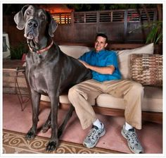 "Giant George, a 43-inch-tall Great Dane from Tucson, Arizona, held two world records: the tallest living dog and the tallest dog ever (until February 15, 2010). his owner keeps fans up to date with the dog's activities via his website and YouTube channel. As incredible as it seems, this pet also has a book, ""Giant George: Life with the World's Biggest Dog,"" and a Twitter account, of course. Unfortunately, George passed away on October 17, 2013, one month away from his eighth birthday."