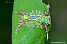 Another cup moth caterpillar I don't believe in...