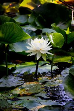 White Lotus in pond. Carpe Koi, Pond Life, Water Flowers, Lotus Flowers, Lily Pond, Water Photography, Indian Photography, Aquatic Plants, Water Garden